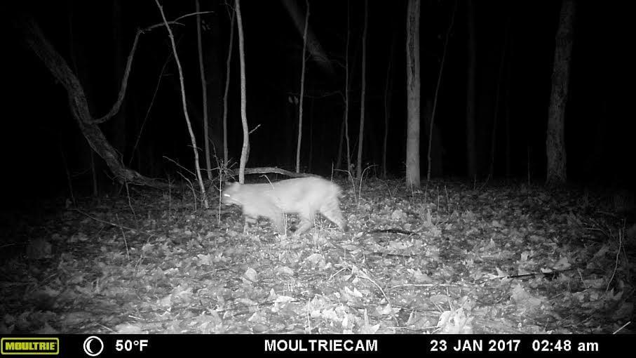 bobcat on trail cam