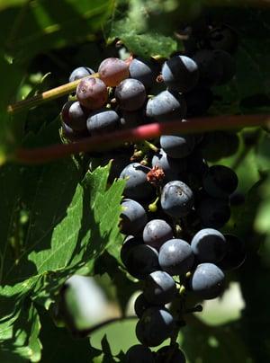 Vineyard 05