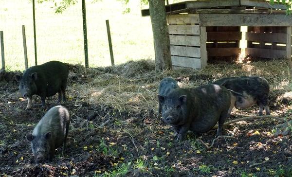 American Guinea hogs 01