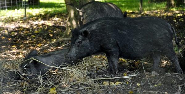 American Guinea hogs 06