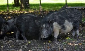 American Guinea hogs 07