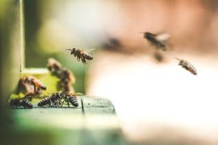 swarming bees